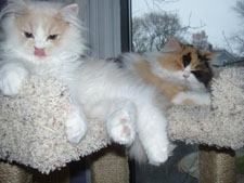 Hi Eric, Charlie is the cream and white little boy and Charlotte is the calico girl. They are 3 month old brother and sister persians. They love each other and love their tower. It's perfect! Please choose one to put in your gallery. The kittens want to be stars. Babette